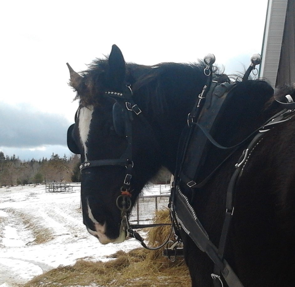 Knight Bud, Black Percheron