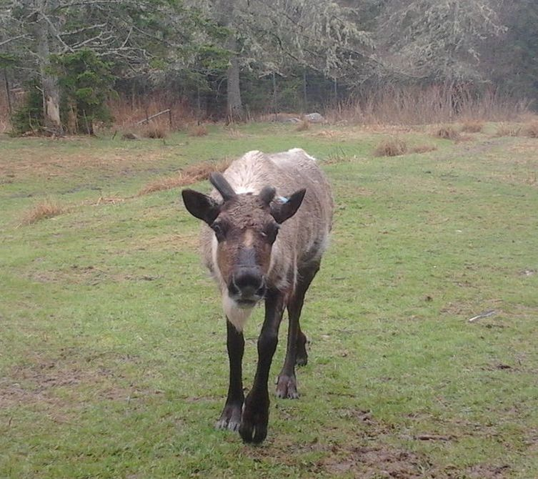 Reindeer are not just for Christmas season.....they live with us all year round. You can hear a reindeer walking as their hooves go clickity-clackity just like in the Christmas carol but they don't need to be